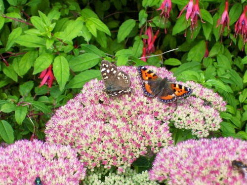 butterflies on sedum