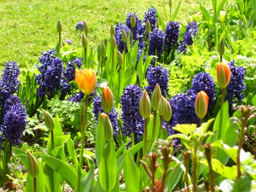 tulips and hyacinths April 2011