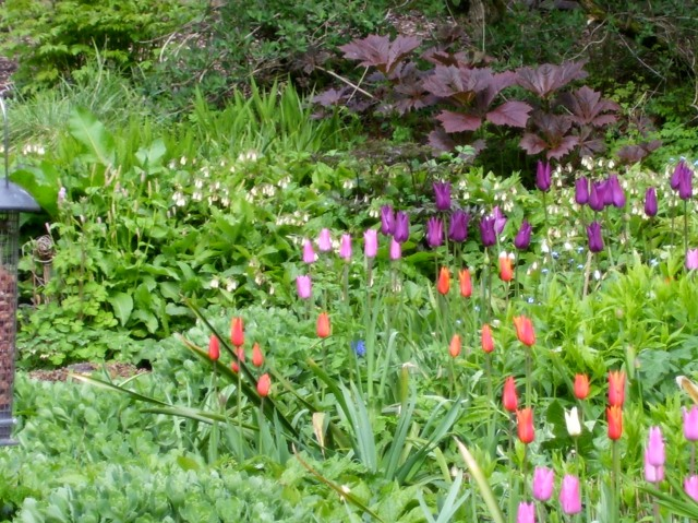 tulips and Rodgersia