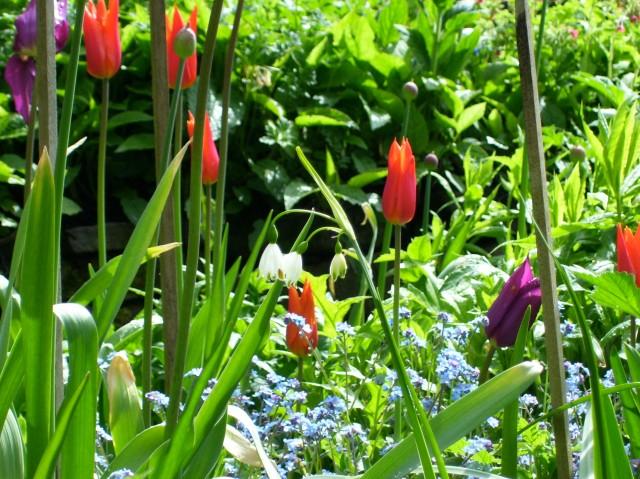 tulips April 2011