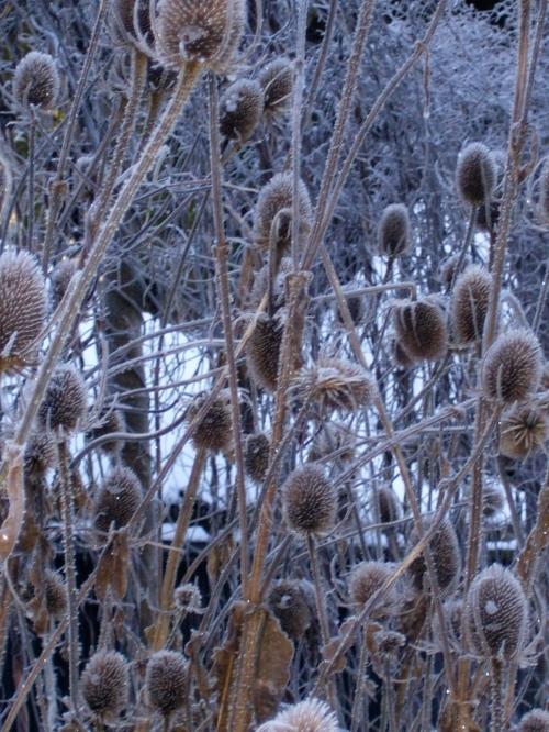 teasels February 2010