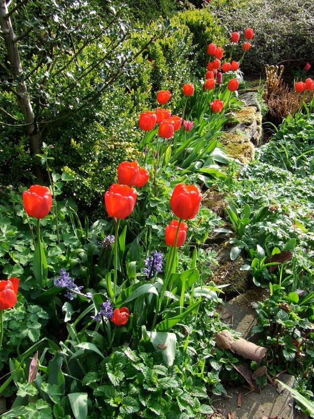 Red Appledoorn tulips