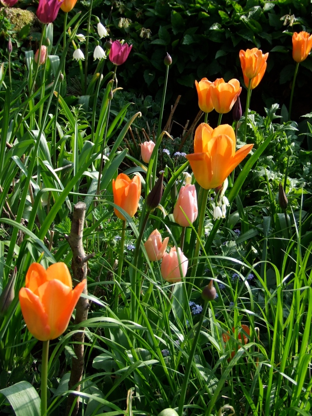 tulips with alliums