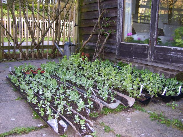peas ready to be planted out