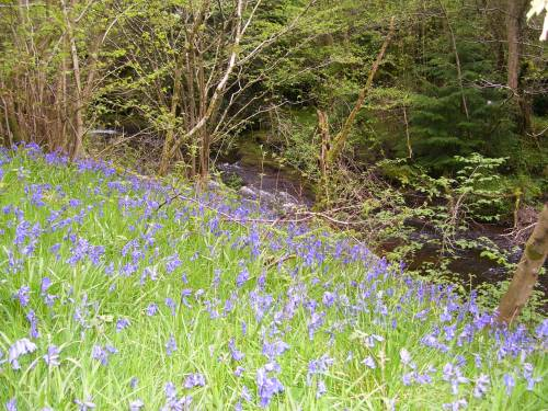 more bluebells...