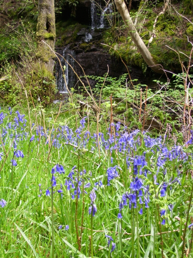 bluebells on our riverbank