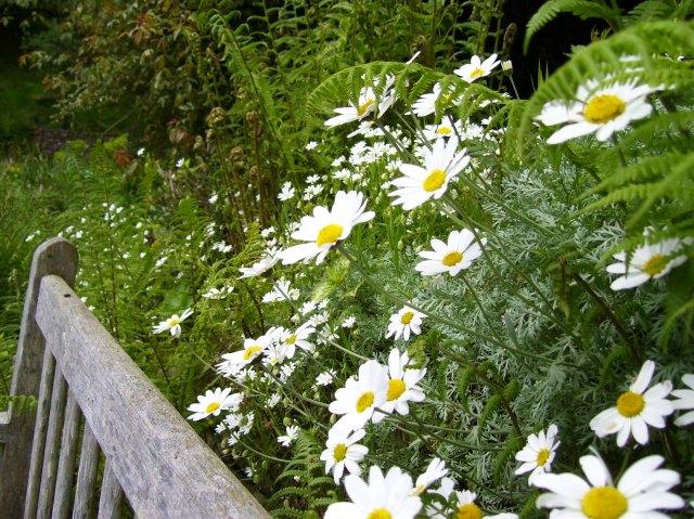 white daisy things