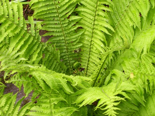 Shuttle cock ferns