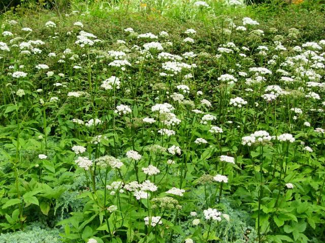 ground elder flowering