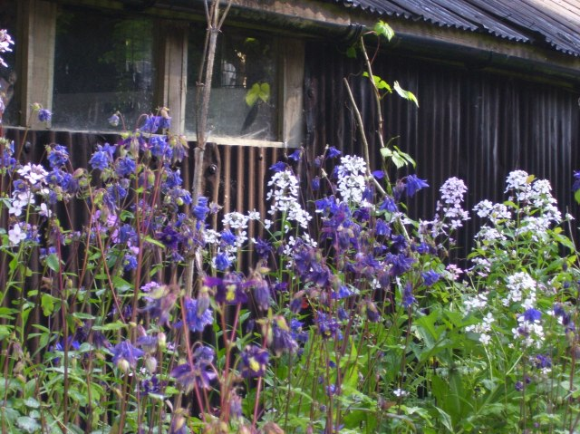 self sown aquilegia and sweet rocket in the path