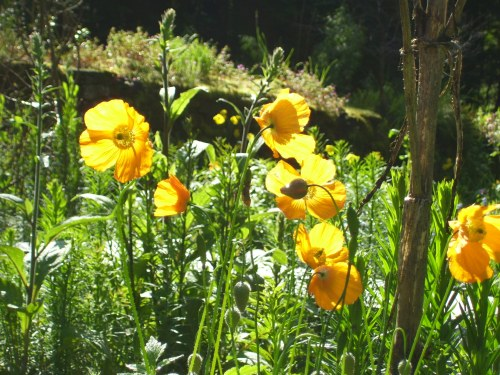 welsh poppies happily seed themselves everywhere