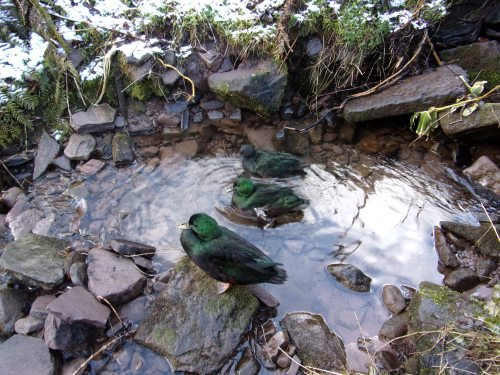 our ducks in the stream today