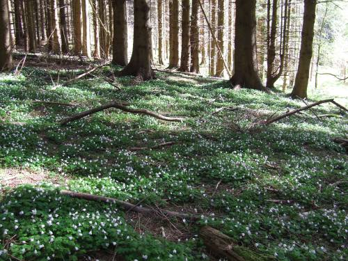 wood sorrel in our forest