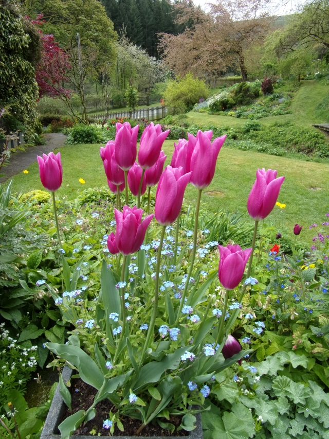 China Pink tulips with forget-me-nots