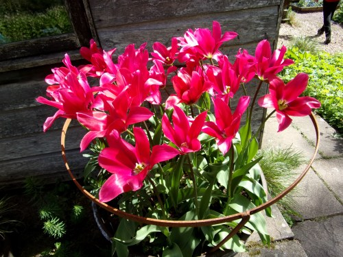 is the answer tulips in pots?