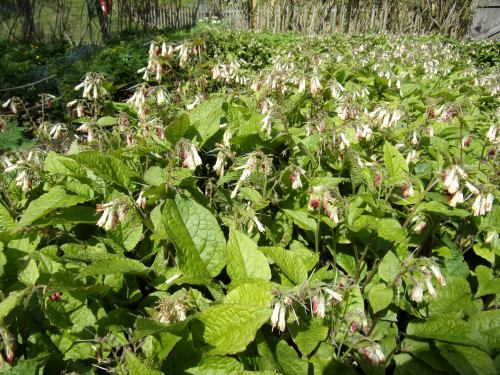 Comfrey with a 'health warning'