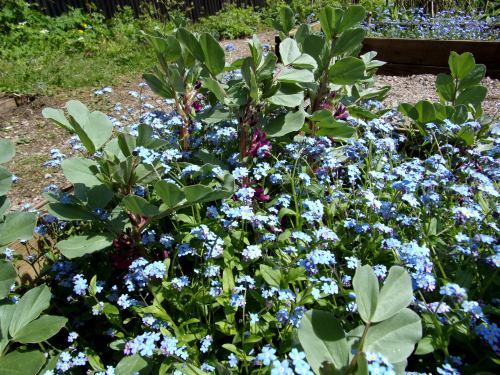 Forget-me-not and Crimson-flowered broad bean combo