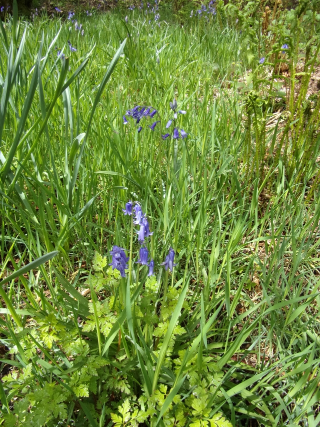bluebells just made it