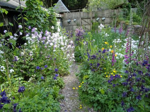 sweet rocket, foxgloves et al in the veg beds