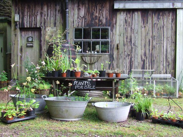 primulas amongst the plants for sale