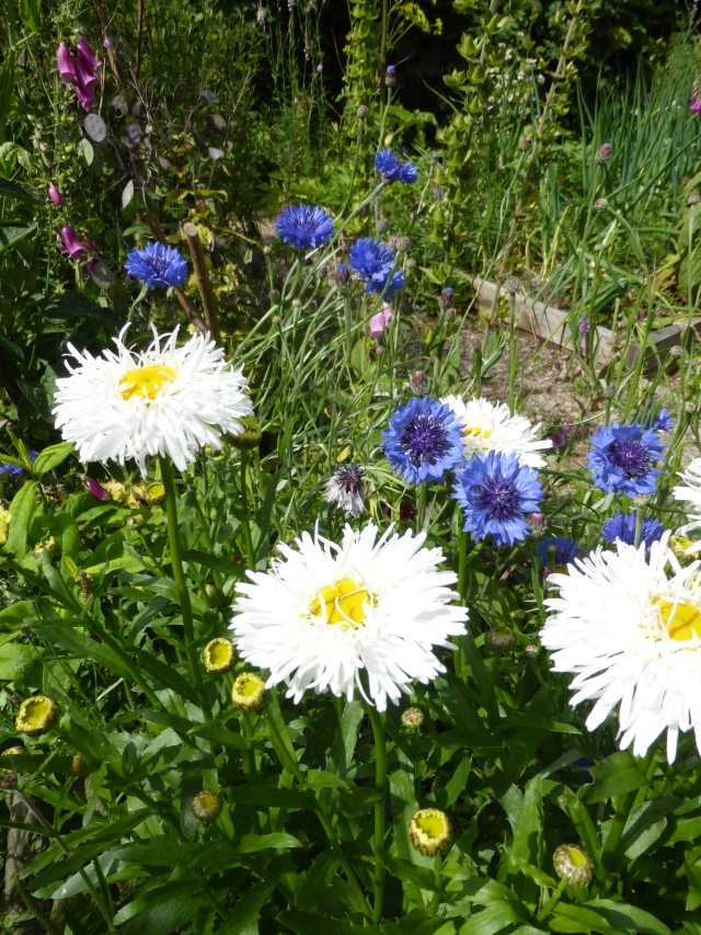Cornflower and 'shaggy' daisy again in the cutting bed