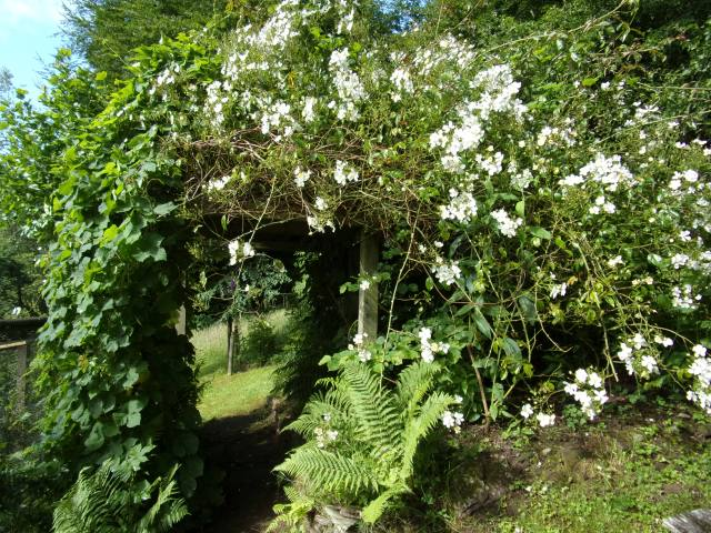 Un-named prolific and wonderfully smelly climbing rose