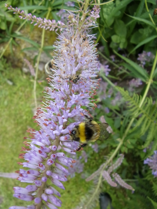 Veronicastrum and visiting bee
