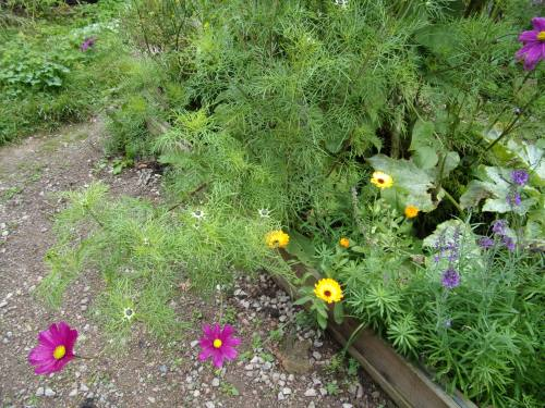 calendula, cosmos and courgettes