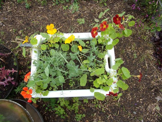 nasturtiums and pea shoots