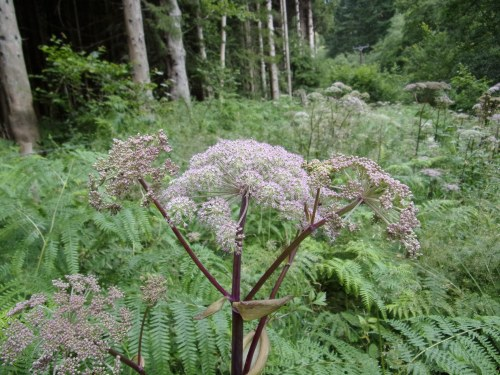 wild angelica along the river