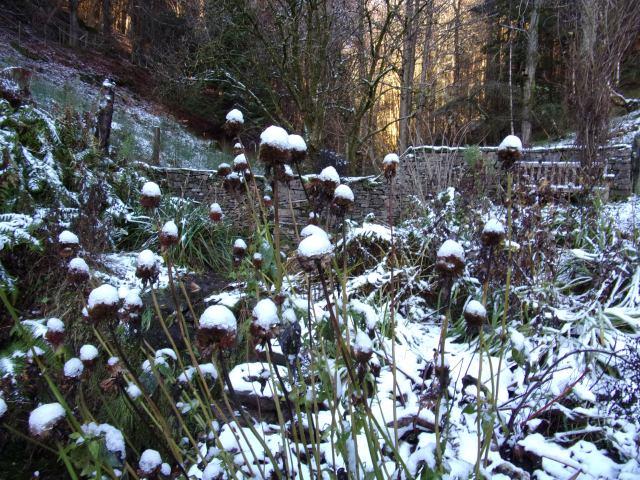 snow-tipped monarda seed-heads