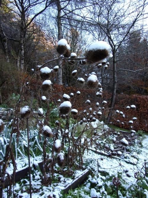 snow-sprinkled teasels