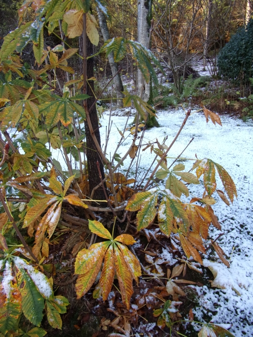 horse chestnut autumn foliage ...and snow