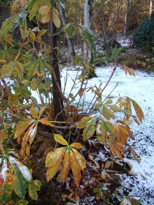 horse chestnut autumn foliage ...and snow