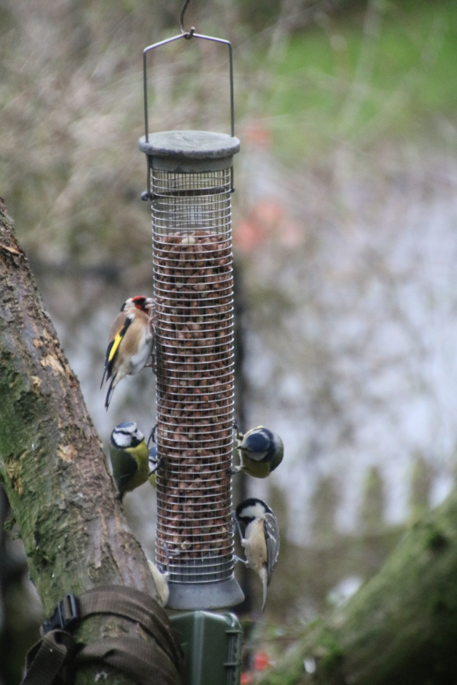 Goldfinch, blue and coal tits