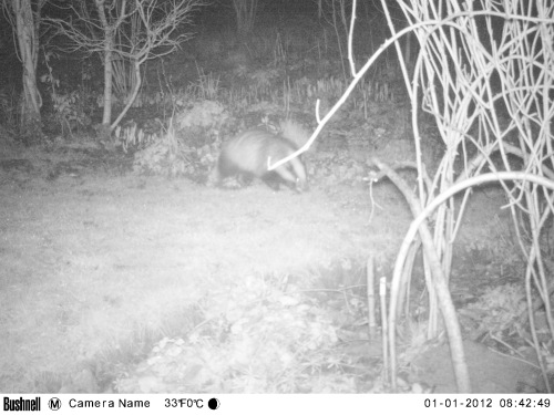 badger munching on chionoxidas
