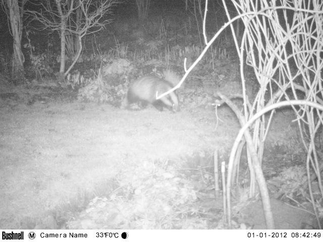 badger munching on chionoxidas