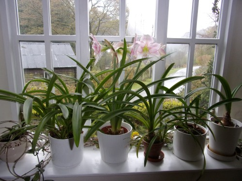 Amaryllis on window sill