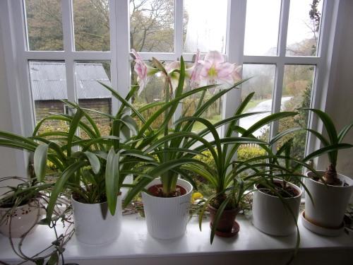 Amaryllis on window sill