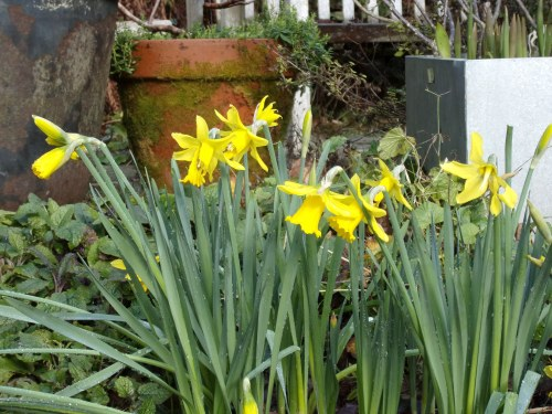 our earliest daffodils...awaiting the rest