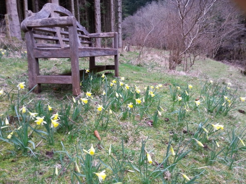 Wild daffs and bench by the river
