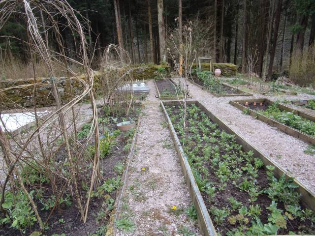 Broad beans planted out in the potager