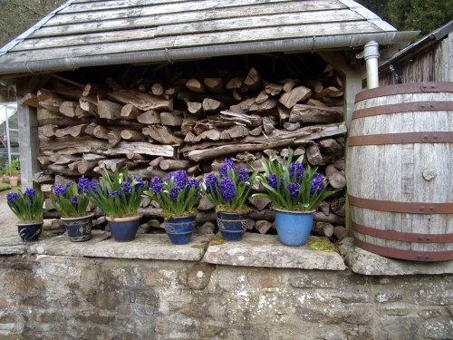 Blue hyacinths in the woodyard