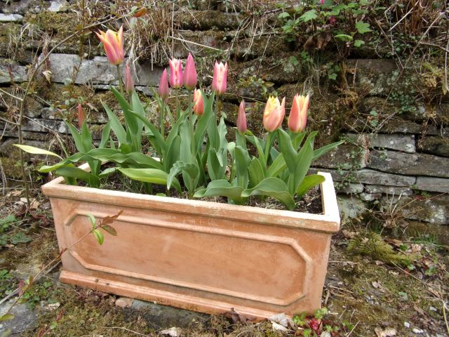 Marianne. First trough of tulips in full flower