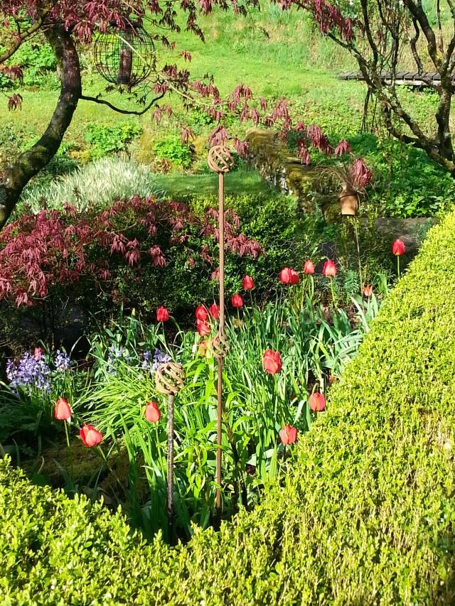 Tulips under the Japanese maple.