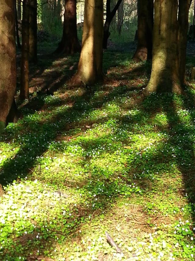 Lovely Wood Sorrel on the forest floor