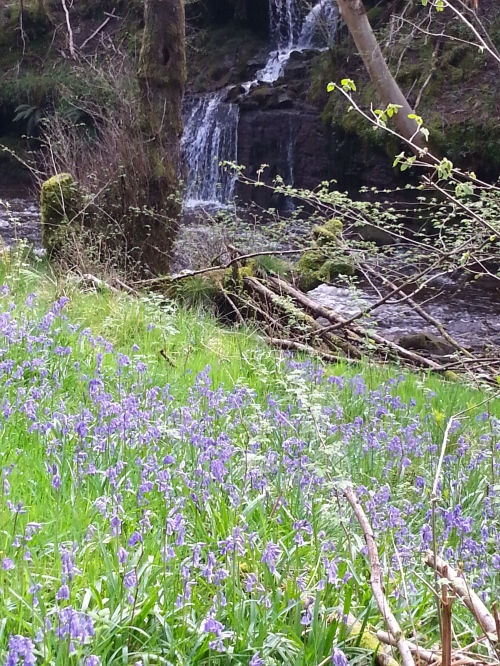 Bluebells in abundance, by the waterfall