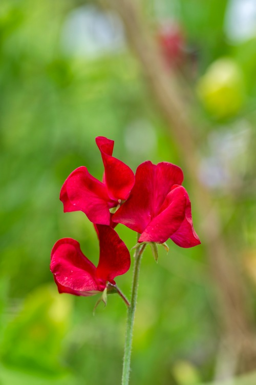 Sweet pea - one of the many smelly ones I grow
