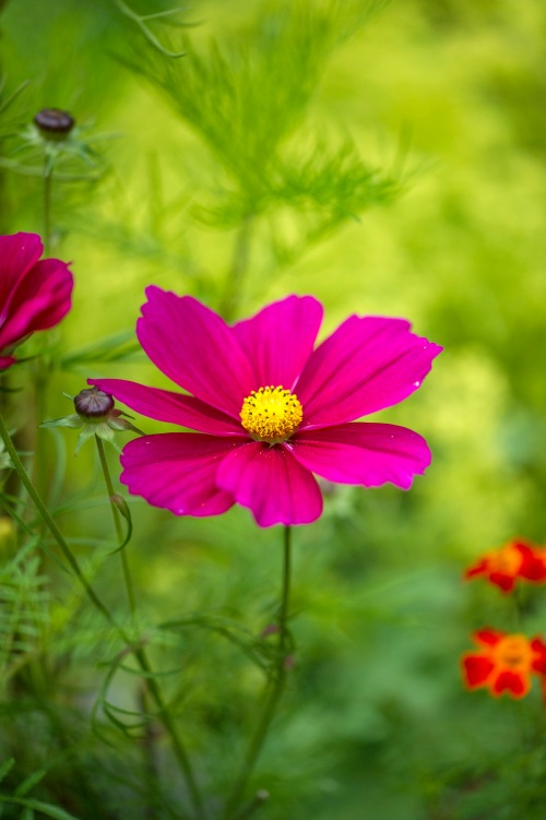 Cosmos 'the Dazzler'