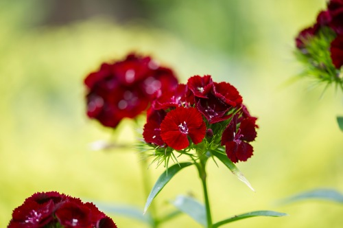 Sweet William Cherry Red